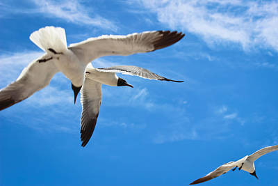 Photograph - Chaos - Seagulls In Flight by Colleen Kammerer