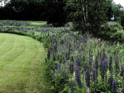 Photograph - Chapel In The Blue Lupine by Wayne King