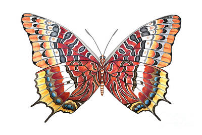 Charaxes Butterfly Original