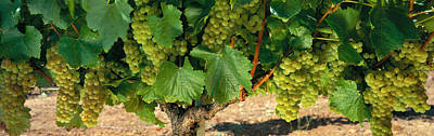 Grapevines Photograph - Chardonnay Grapes On The Vine, Napa by Panoramic Images