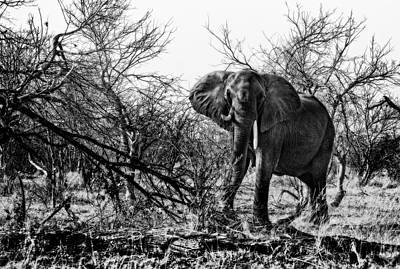 Photograph - Charging Elephant In Black And White by Kay Brewer