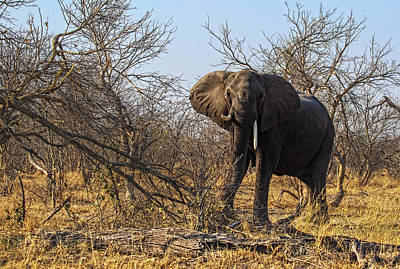 Photograph - Charging Elephant  by Kay Brewer