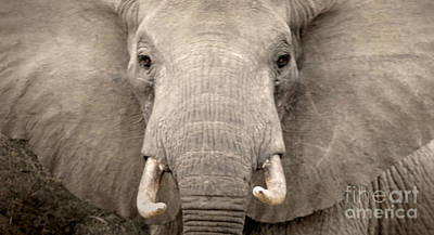 Photograph - Charging Elephant by Tina Broccoli