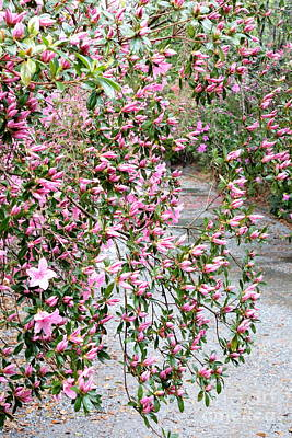 Photograph - Charleston Azalea Drama by Carol Groenen