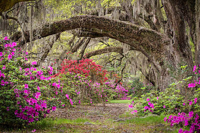 Charleston South Carolina - Spanish Moss Live Oaks And Azaleas - Magnolia Plantation Print by Bill Swindaman