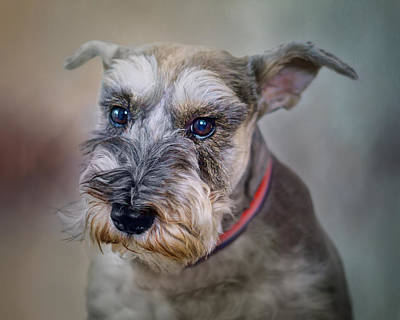 Photograph - Charlie - Dog Portrait - Schnauzer by Nikolyn McDonald