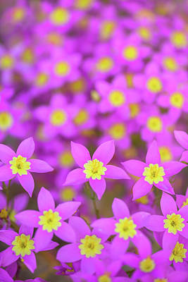 Photograph - Charming Centaury by Alexander Kunz