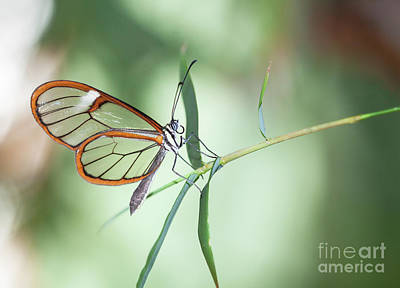 Photograph - Charming Clear-wing by Ruth Jolly
