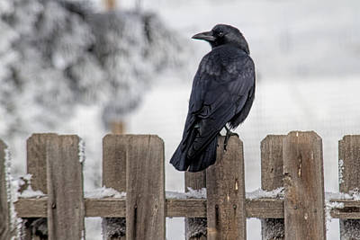Photograph - Charming Corvid by Alana Thrower