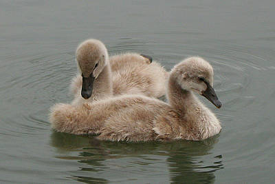 Photograph - Charming Cygnets by Fran West