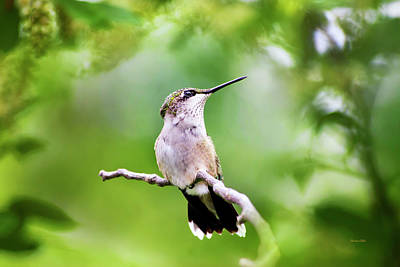 Photograph - Charming Hummingbird by Christina Rollo