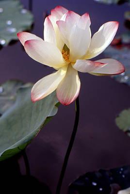 Lotus Leaves Photograph - Charming Lotus by Lian Wang