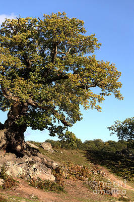 Royal Ladies Photograph - Charnwood Forest Oak by John Edwards