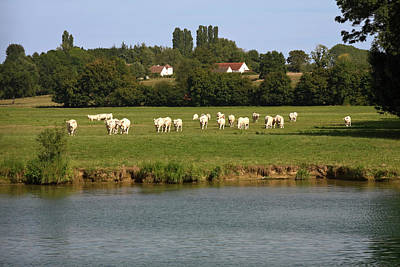 Saone River Photograph - Charolais Beef Cattle by Sally Weigand