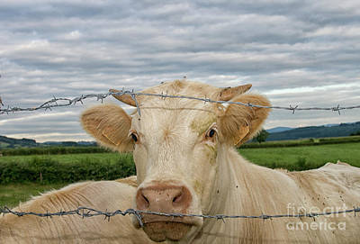 Photograph - Charolais Cattle by Patricia Hofmeester