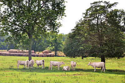 Photograph - Charolais In The Shade by Jan Amiss Photography