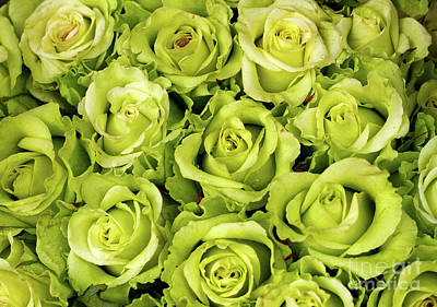 Chartreuse Colored Roses Art Print