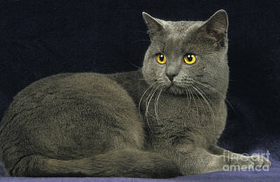 Chartreux Wall Art - Photograph - Chartreux Cat by Gerard Lacz