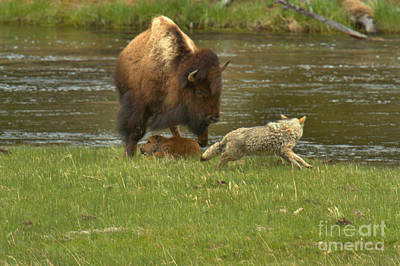 Photograph - Chasing The Bison Calf by Adam Jewell