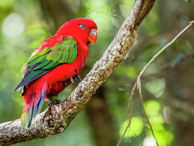 Photograph - Chattering Lory by Alexey Stiop