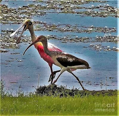 Chatty Cathy Walk And A Talk-roseatte Spoonbill And Limpkin Art Print by Diann Fisher