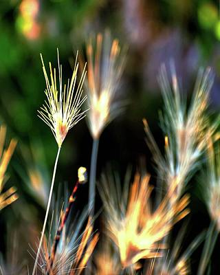 Photograph - Cheat Grass Detail by Jerry Sodorff