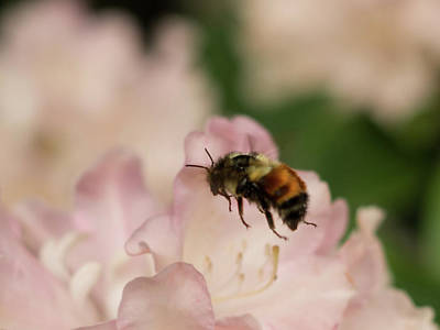 Photograph - Hovering Bee by Marilyn Wilson