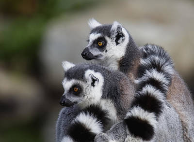 Ring-tailed Lemur Photograph - Check That Out by Randy Hall