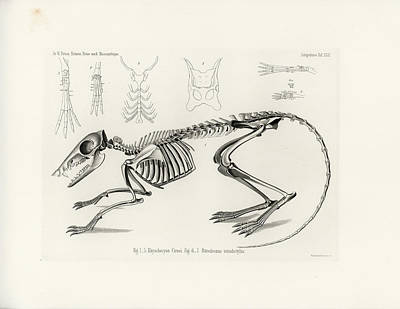 Drawing - Checkered Elephant Shrew Skeleton by W Wagenschreiber