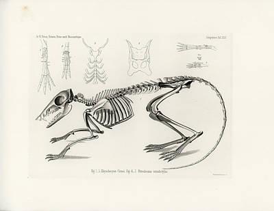 Checkered Elephant Shrew Skeleton Art Print