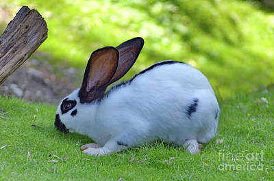 Photograph - Checkered Giant Rabbit by Michelle Meenawong