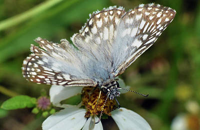 Photograph - Checkered Skipper Butterfly by Larah McElroy