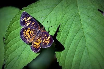 Photograph - Checkerspot Butterfly by Joseph Skompski