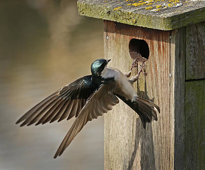 Photograph - Checking Out The Nesting Box by Inge Riis McDonald