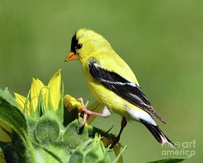 Louis Armstrong - American Goldfinch Checking Out The Sunflower  by Cindy Treger