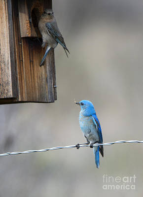 Bluebird Photograph - Checking The Nest by Mike Dawson