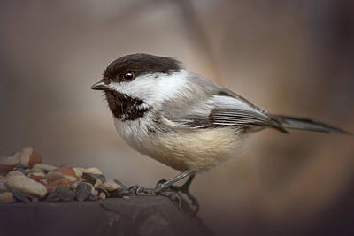 Photograph - Cheeky Chickadee by Debby Herold