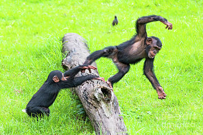 Photograph - Cheeky Chimps by Andrew Michael