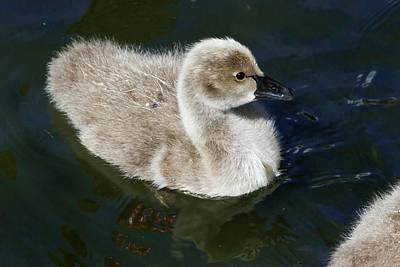 Photograph - Cheeky Cygnet by Miroslava Jurcik