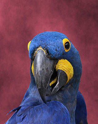 Photograph - Cheeky Macaw by Debi Dalio
