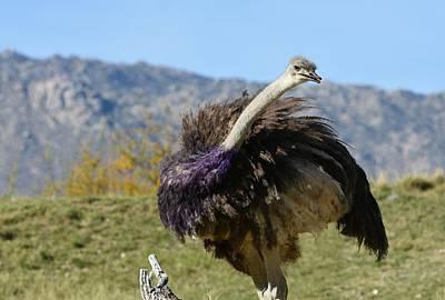Photograph - Cheeky Ostrich by Fraida Gutovich