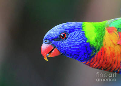 Photograph - Cheeky Rainbow Lorikeet by Silken Photography