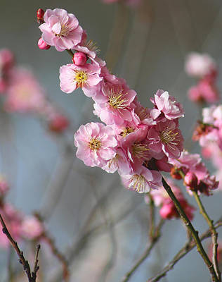 Photograph - Cheerful Cherry Blossoms by Living Color Photography Lorraine Lynch