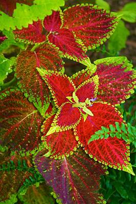 Photograph - Cheerful Coleus by Polly Castor