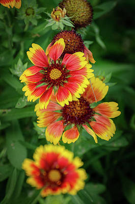 Photograph - Cheerful  Gaillardia by Susan McMenamin