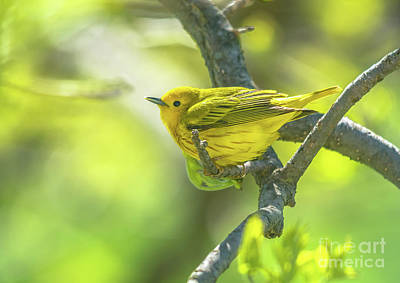 Photograph - Cheerful Yellow Warbler by Cheryl Baxter