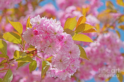 Photograph - Cheery Cherry Blossoms by Sharon Talson