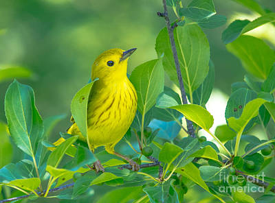 Photograph - Cheery Yellow Warbler by Cheryl Baxter
