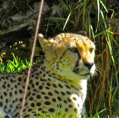 Cheetah   Face Art Print by Debra     Vatalaro