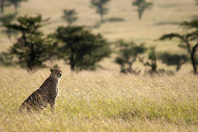 Photograph - Cheetah - Guepard by Michel Legare